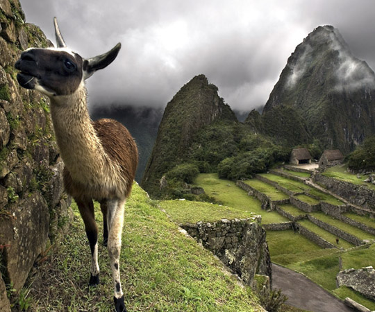 Ламы и по сей день разводятся на землях Инков.
