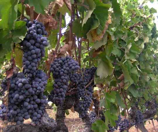 виноград в древней греции